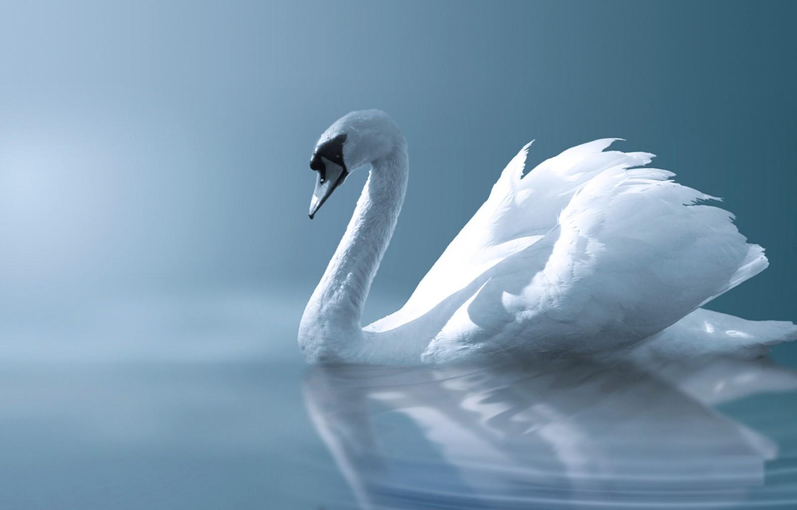 心里的天鹅